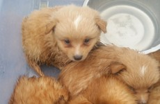 Seven Pomeranian puppies rescued from car boot after gardaí apprehend speeding motorist