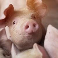 Farmers warned over outbreak of deadly African Swine Fever in Germany