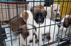Six puppies destined for the UK seized by Revenue at Dublin Port