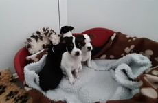 Second batch of puppies recovered at Dublin Port in 24 hours