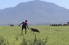 Training with a sheep has jackal specialist CJ Stander in fine fettle