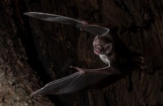 Vampire bats in Central America socially distance when they are sick, study suggests