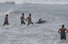 Navy and volunteers rescue 120 whales in Sri Lanka after mass stranding