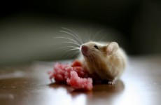 Worried about those wrinkles? Scientists turn back the clock for mice