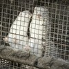 Denmark to cull millions of minks after coronavirus mutation spreads to humans