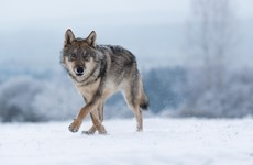 US state of Colorado votes to reintroduce wolves