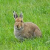 More than 1,200 hares captured for coursing released back into the wild