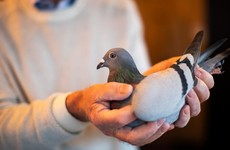 Belgian racing pigeon sells for more than €1.6 million in auction