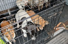 Gardaí seize 32 dogs worth more than €150,000 in Dublin
