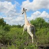 World's last known white giraffe fitted with GPS tracking device to protect it from poachers