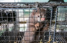 HSE says no positive Covid-19 cases found in testing of mink farm workers and families