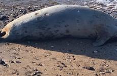 Why are headless seals washing up on Irish beaches?