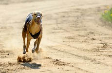 Poll: Should the Government end funding for greyhound racing?
