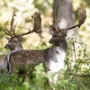 Phoenix Park deer caused 'undue stress' by increase in visitors during pandemic
