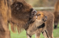 Baby bison born in Fota to be named by local school students