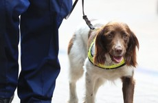 Covid-19: Australian researchers begin training sniffer dogs to detect virus in infected patients