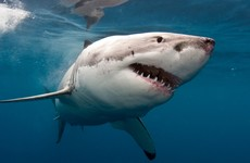 Australian surfer survives attack from great white shark