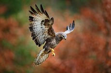 Appeal for information after buzzard found shot dead on roadside in Co Laois