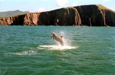 'It was a privilege to have had him': A farewell to Fungie, Dingle's beloved wild dolphin