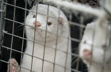 Denmark to exhume millions of minks culled over virus