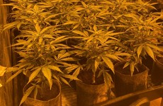 One man arrested after €250,000 worth of cannabis plants seized in Monaghan