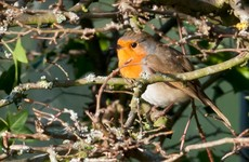 Reminder issued about hedge-cutting ban to protect birds during nesting season