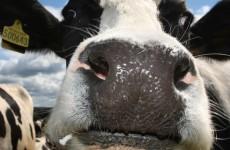 Science's next big quandry: How do cows make friends?