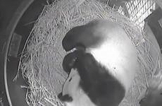 PANDAWATCH! Panda cub born at San Diego Zoo