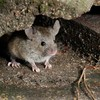 Farmers battle to save crops after 'plague' of mice invade Australia's rural east