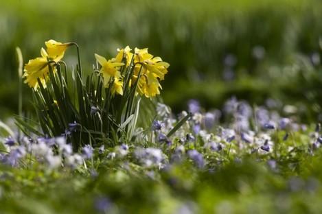 Daffodils in the National Botanic Gardens