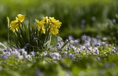Daffodil Day is happening today - and is once again taking donations online