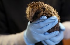 Ireland's first wildlife hospital appeals for help after influx of injured and sick animals
