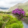 Minister gives half a million euro in funding to clear rhododendron out of Connemara National Park