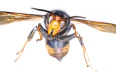 Single Asian hornet found 'alive but dying' in north Dublin home