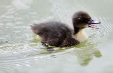 DSPCA appeals to farmers not to sell ducklings wholesale to 'opportunistic buyers'