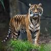 Man arrested after tiger found wandering around Texas neighbourhood