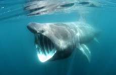 New legislation aims to make 'threatened' basking sharks a protected species in Ireland