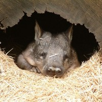 It's the Friday before a bank holiday weekend. So here's a slideshow of wombats