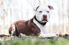 Offaly woman attacked by pitbull terrier gets €122,000 in damages