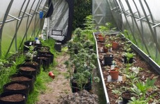 Gardaí seize €77,000 worth of suspected cannabis from 'sophisticated growhouse'