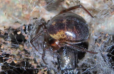 Noble false widow spider bites can require hospital treatment – study