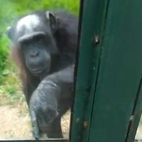 Chimp seeks help from zoo visitor in escape