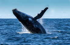 US fisherman: 'I was swallowed by humpback whale but lived to tell the tale'