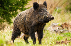 Hunt continues in mountainous area of Kerry for missing wild boar