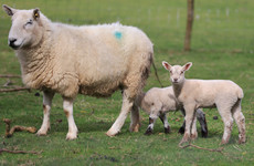 Farmers 'losing patience' over sheep deaths from dog attacks
