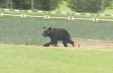 Four hurt and flights disrupted as bear goes on the rampage in Japanese city