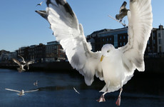 Why are seagulls so loud right now - and can anything be done about it?