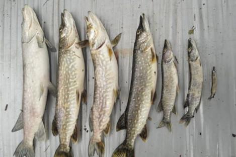 Samples of pike taken from Barnagrow Lake.