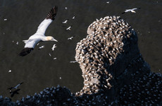 Plastic found in thousands of seabird nests across Europe 'poses a threat'
