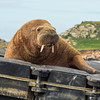 Quiz: How much do you know about walruses?